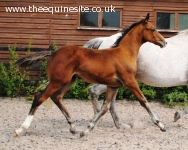 2014 bay colt by Royal Classic