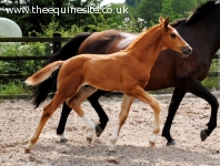 2014 colt foal by Blue Hors Zack