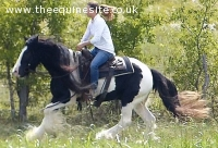 Black and White, Gypsy Vanner Gelding **