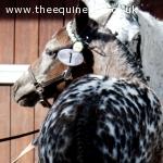 Knabstrupper Pony, Filly Foal by Thore Vom Pferdehof