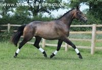 Quality 2013 sport horse fill by St Moritz jnr